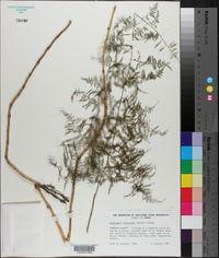 Asparagus setaceus image