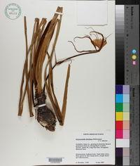 Hymenocallis floridana image