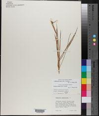 Herbertia lahue image