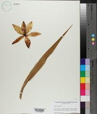 Yucca rupicola image