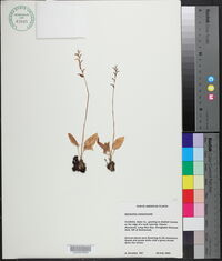 Image of Spiranthes costaricensis