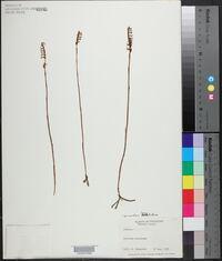 Spiranthes longilabris image