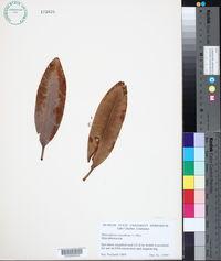 Image of Rhizophora racemosa
