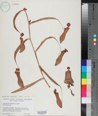 Nepenthes gracilis image