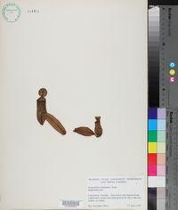 Nepenthes khasiana image