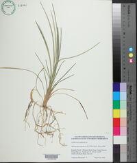 Ophiopogon japonicus image