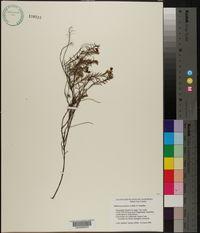 Image of Hibbertia acicularis
