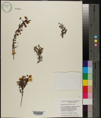 Image of Hibbertia pedunculata