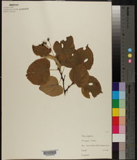 Tilia x vulgaris image