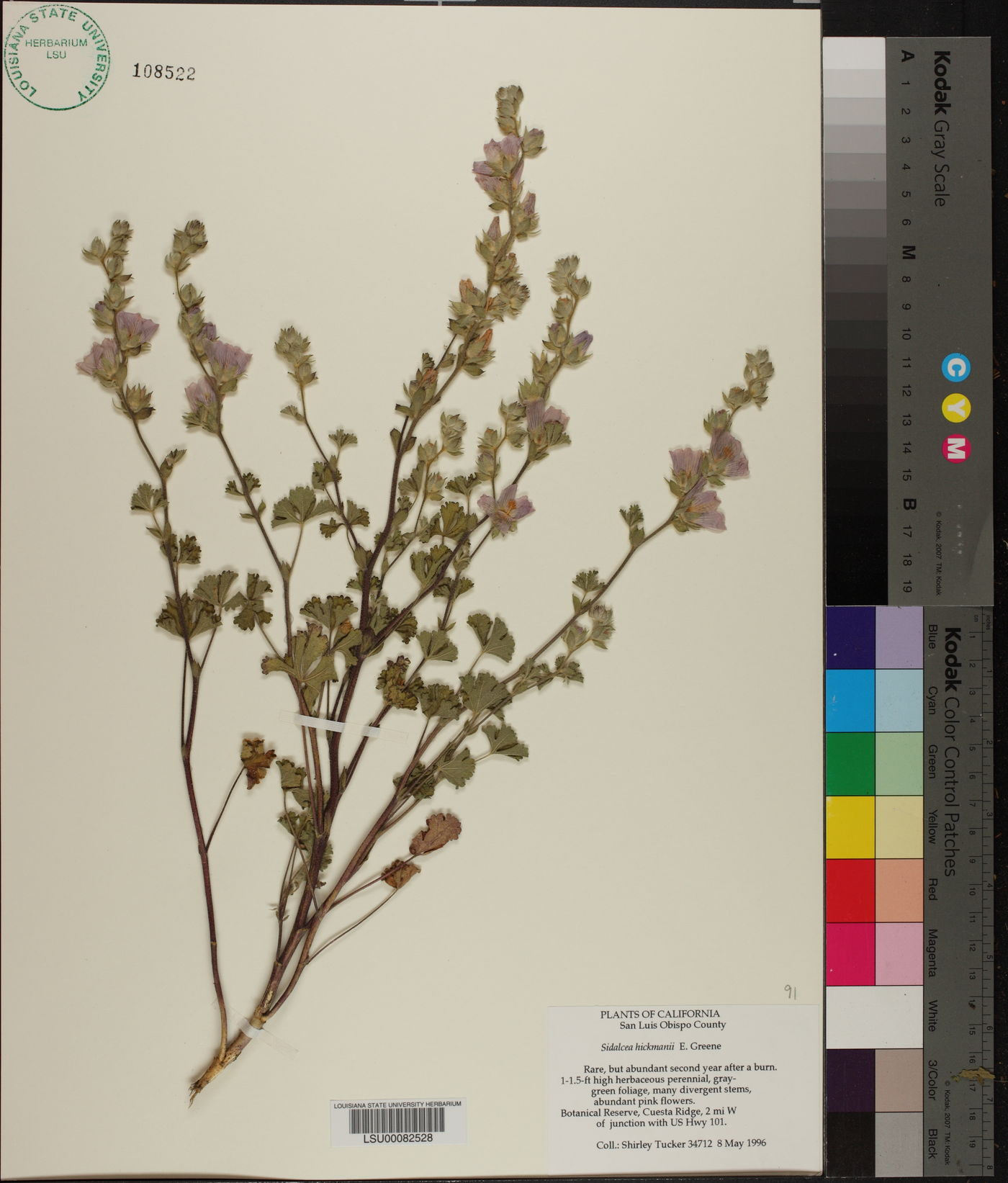 Sidalcea hickmanii image