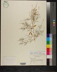 Image of Tamarix mascatensis