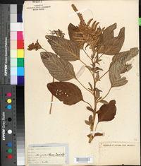 Amaranthus caudatus image
