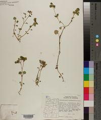 Chrysosplenium glechomifolium image