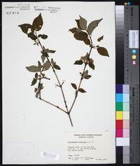 Philadelphus sharpianus image