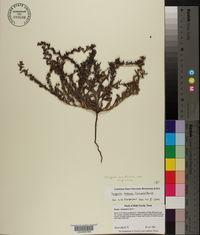Lappula occidentalis var. cupulata image