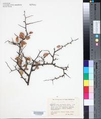 Prunus fremontii image