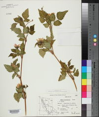 Rubus spectabilis image