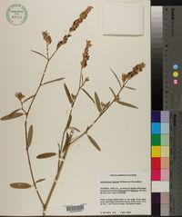 Alysicarpus rugosus image