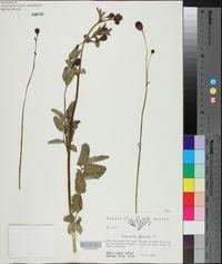 Sanguisorba officinalis image
