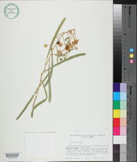 Image of Acacia ampliceps