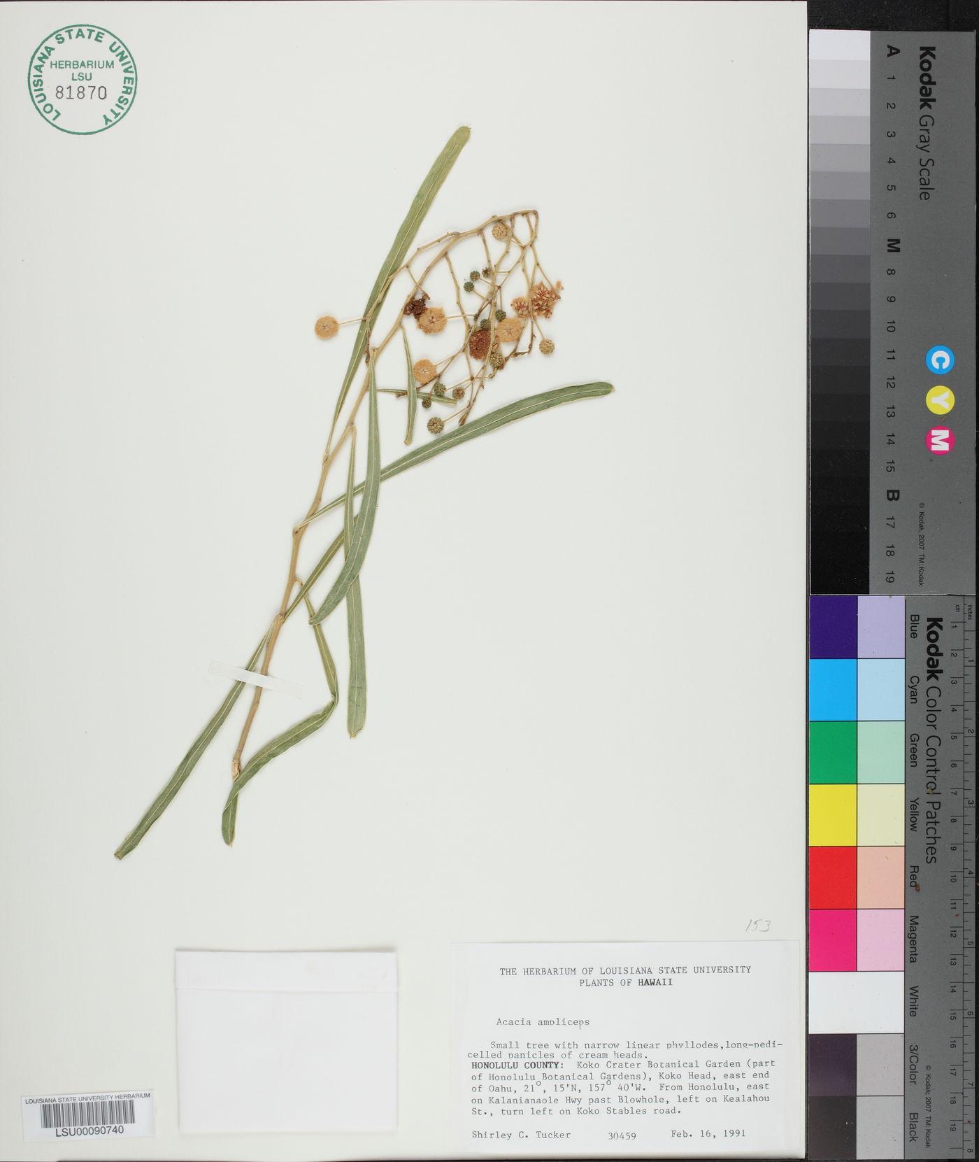 Acacia ampliceps image