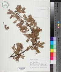 Acacia acuifera image