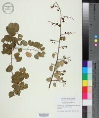 Image of Bauhinia binata