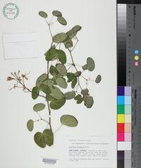 Image of Bauhinia corymbosa