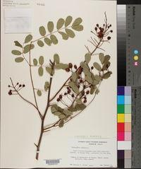 Image of Caesalpinia kavaiensis