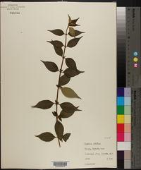 Image of Buddleja albiflora