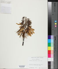 Erythrina sandwicensis image