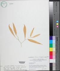 Eustrephus latifolius image