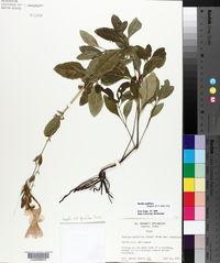 Ruellia ciliatiflora image