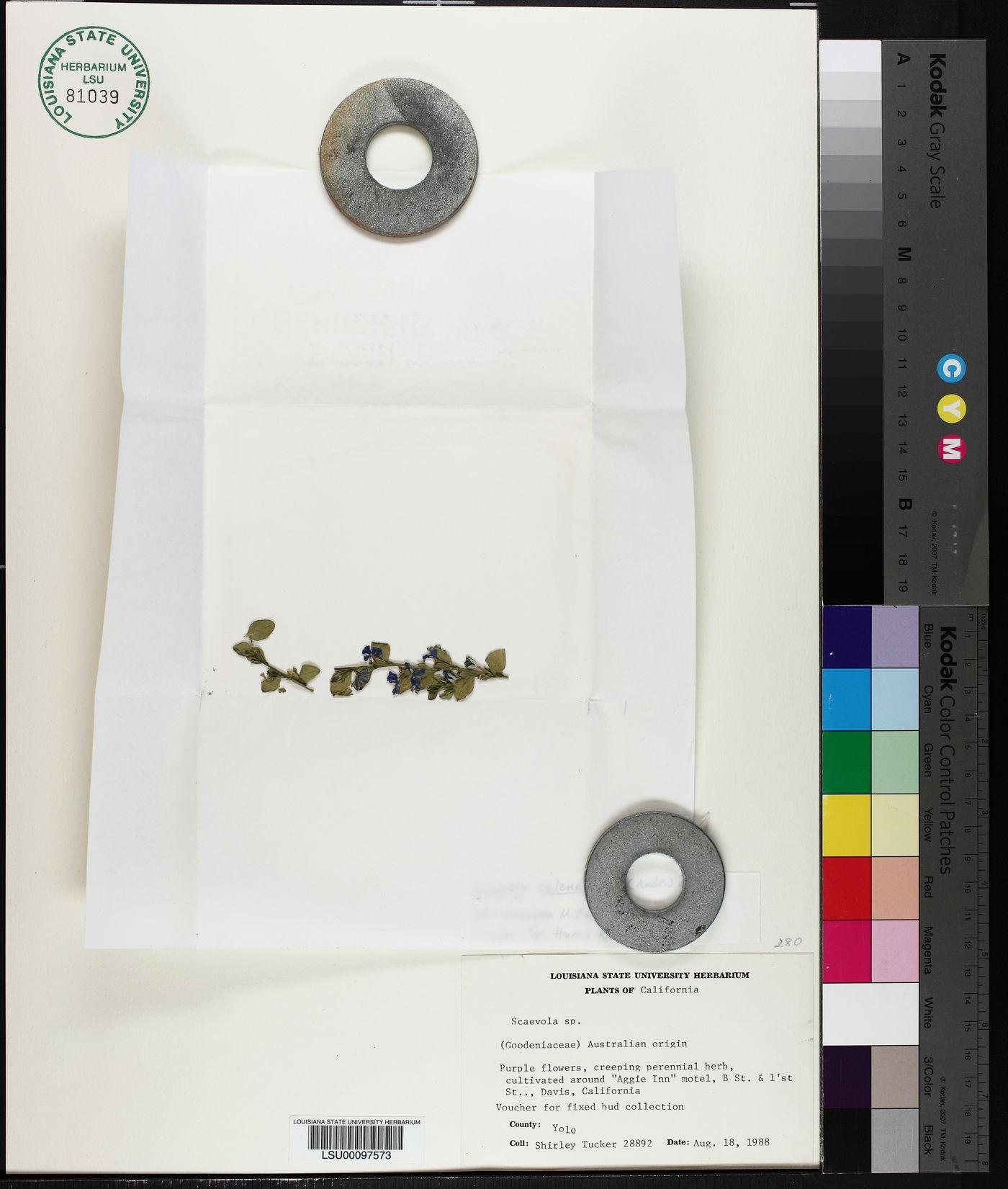 Scaevola calendulacea image