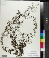 Galium parisiense image