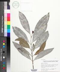 Cassine orientalis image