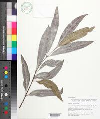 Image of Cassine orientalis