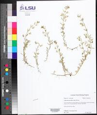 Calibrachoa parviflora image