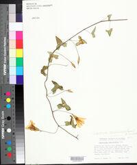 Calystegia occidentalis image