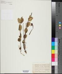 Macrosiphonia lanuginosa image