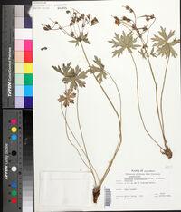 Geranium richardsonii image