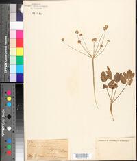 Peucedanum latifolium image