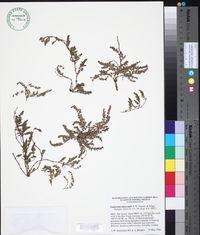 Image of Euphorbia alatocaulis