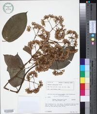 Image of Mikania chaetoloba