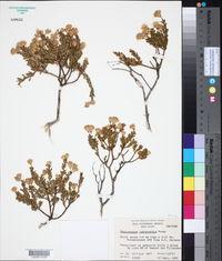 Image of Ericameria juarezensis