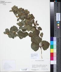 Image of Calea crocinervosa