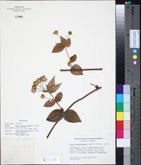 Image of Calea bucaramangensis