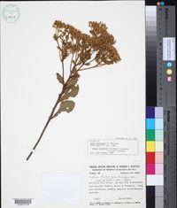 Image of Calea fruticosa