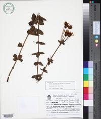 Image of Calea quadrifolia