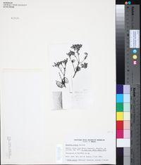 Image of Calea sickii